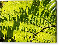 Ferns In Sunlight Acrylic Print