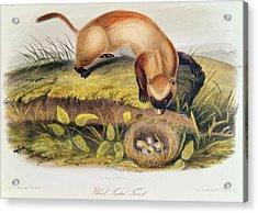 Ferret Acrylic Print by John James Audubon