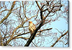 Acrylic Print featuring the photograph Copper's Hawk Juvenile by Charline Xia