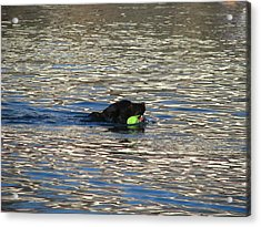 Fetch  Swimming 2 Acrylic Print by Hasani Blue