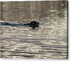 Fetch Swimming Acrylic Print by Hasani Blue