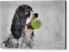 Fetching Cocker Spaniel  Acrylic Print by Benanne Stiens