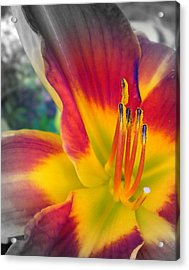 Feverishly Hot Lily Acrylic Print by Cynthia Daniel