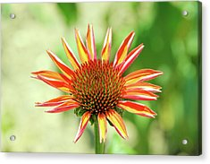 Acrylic Print featuring the photograph Fibonacci by David Chandler