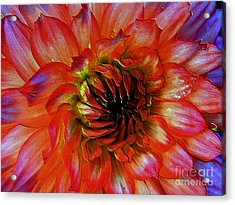 Acrylic Print featuring the photograph Fickle by Elfriede Fulda