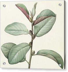 Ficus Rubeginosa Acrylic Print