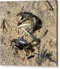 Fiddler Crabs Fighting 1 Acrylic Print