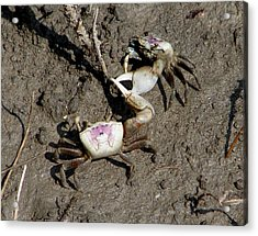 Fiddler Crabs Fighting 2 Acrylic Print
