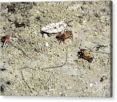 Fiddler Crabs Acrylic Print by Terri Mills