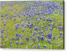 Field Of Blue Bonnet Flowers Acrylic Print