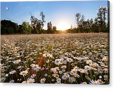 Field Of Daisies Acrylic Print