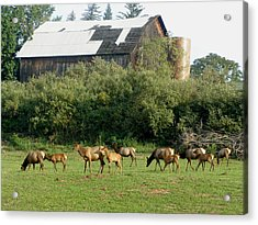 Acrylic Print featuring the photograph Field Of Elk by Jeanette Oberholtzer