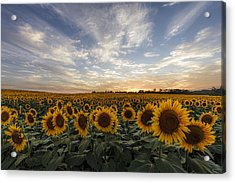 Field Of Gold Acrylic Print by Scott Bean