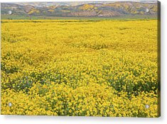 Acrylic Print featuring the photograph Field Of Goldfields by Marc Crumpler