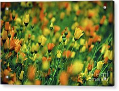 Field Of Orange And Yellow Daisies Acrylic Print