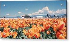 Field Of Orange Acrylic Print
