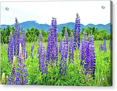 Field Of Purple Acrylic Print by Greg Fortier