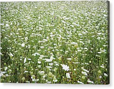Field Of Queen Annes Lace Acrylic Print