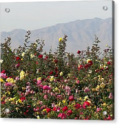 Field Of Roses Acrylic Print by Laurel Powell