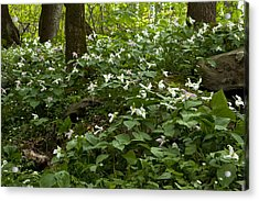 Field Of Trillium 2833 Acrylic Print by Peter Skiba