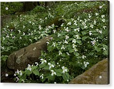 Field Of Trillium 2841 Acrylic Print by Peter Skiba