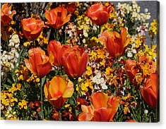 Field Of Tulips Acrylic Print by Pierre Leclerc Photography