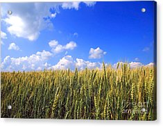Field Of Wheat  Acrylic Print by Sandra Cunningham