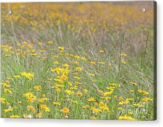 Field Of Yellow Flowers In A Sunny Spring Day Acrylic Print