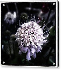 Acrylic Print featuring the photograph Field Scabious. A Member Of The by Mr Photojimsf