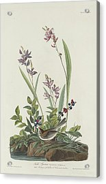 Field Sparrow Acrylic Print by Rob Dreyer