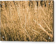 Acrylic Print featuring the photograph Fields Of Gold by Allin Sorenson
