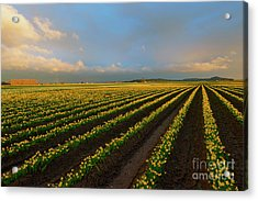 Acrylic Print featuring the photograph Fields Of Yellow by Mike Dawson