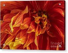 Fiery Dahlia Acrylic Print by Chris Scroggins