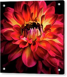 Acrylic Print featuring the photograph Fiery Red Dahlia by Julie Palencia