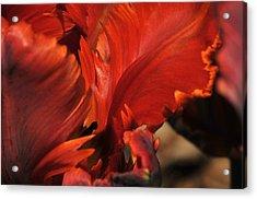 Fiery Tulip Acrylic Print by Jennifer Englehardt