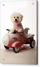 Fifi Ready For Take Off Acrylic Print by Michael Ledray