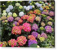 Fifty Shades Of Hydrangea Acrylic Print by Lingfai Leung