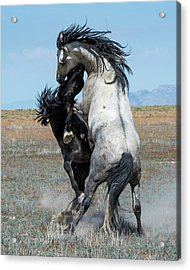 Acrylic Print featuring the photograph Fighting Black And Gray Stallions by Mary Hone