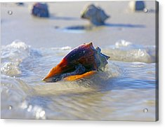 Fighting Conch On Beach Acrylic Print