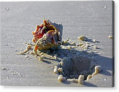Fighting Conch On The Beach Acrylic Print