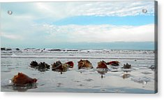Fighting Conches Acrylic Print