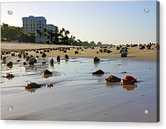 Fighting Conchs At Lowdermilk Park Beach In Naples, Fl  Acrylic Print