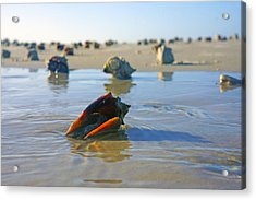 Fighting Conchs On The Sandbar Acrylic Print