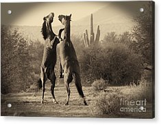 Acrylic Print featuring the photograph Fighting Stallions by Frank Stallone