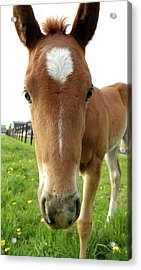 Filly Face Acrylic Print