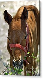 Filly Acrylic Print