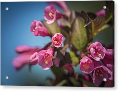 Acrylic Print featuring the photograph Fine Wine Weigela by William Lee