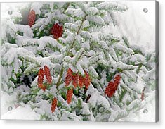 Acrylic Print featuring the photograph Fir Cones On White Photo Art by Sharon Talson
