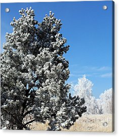 Fir Full Of Ice Acrylic Print