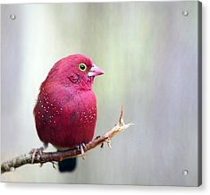 Fire Finch Acrylic Print